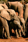Famiglia dell'elefante Fotografia Stock Libera da Diritti