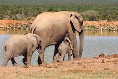 Famiglia dell'elefante Immagini Stock