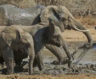 Famiglia dell'elefante che gioca in acqua Fotografia Stock