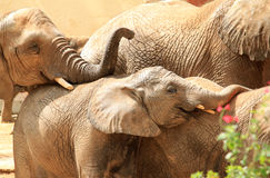 Famiglia dell'elefante dell'Africa nel giardino zoologico di Lisbona, Portogallo Fotografia Stock Libera da Diritti
