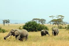 Famiglia dell'elefante sulla savana Immagine Stock Libera da Diritti