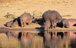 Famiglia dell'ippopotamo Immagini Stock