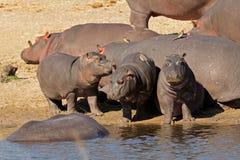 Famiglia dell'ippopotamo Fotografie Stock Libere da Diritti
