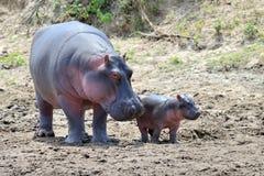 Famiglia dell'ippopotamo Fotografia Stock Libera da Diritti