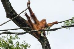 Famiglia dell'orangutan che gioca negli alberi con i loro bambini Fotografia Stock Libera da Diritti