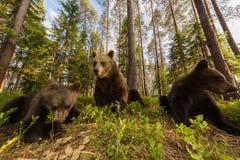 Famiglia dell'orso bruno in foresta finlandese Immagine Stock Libera da Diritti