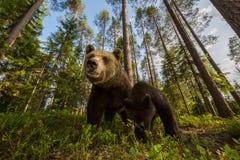Famiglia dell'orso bruno in foresta finlandese grandangolare Fotografie Stock Libere da Diritti