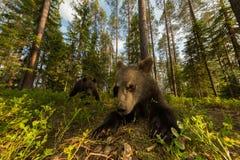 Famiglia dell'orso bruno in foresta finlandese grandangolare Immagini Stock Libere da Diritti