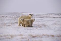 Famiglia dell'orso polare fotografia stock