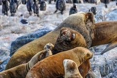 Famiglia dell'otaria, Manica del cane da lepre, Ushuaia, Argentina Fotografia Stock