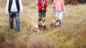 Famiglia dell'uomo della tribù che cammina sulla natura sulle abitudini delle razze del terrier di Staffordshire dei cani immagini stock