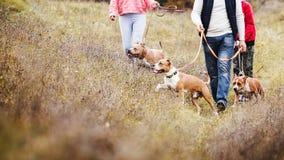 Famiglia dell'uomo della tribù che cammina sulla natura sulle abitudini delle razze del terrier di Staffordshire dei cani fotografia stock
