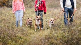 Famiglia dell'uomo della tribù che cammina sulla natura sulle abitudini delle razze del terrier di Staffordshire dei cani fotografie stock libere da diritti