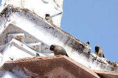 Famiglia della Banca Myna Birds Immagine Stock Libera da Diritti