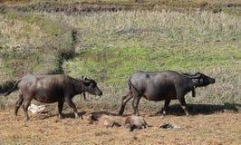 Famiglia della Buffalo Fotografia Stock Libera da Diritti