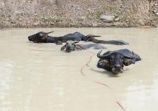 Famiglia della Buffalo in stagno Fotografia Stock Libera da Diritti
