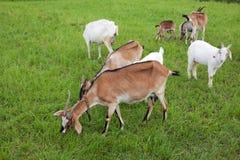 Famiglia della capra Fotografia Stock Libera da Diritti