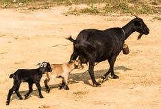 Famiglia della capra Fotografia Stock