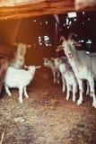 Famiglia della capra in un granaio Fotografia Stock