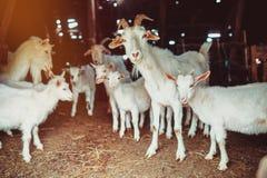 Famiglia della capra in un granaio Immagine Stock Libera da Diritti