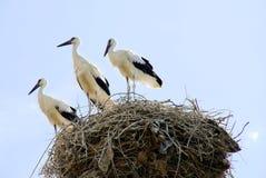 Famiglia della cicogna Immagini Stock Libere da Diritti
