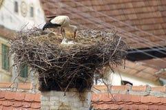 Famiglia della cicogna Fotografia Stock
