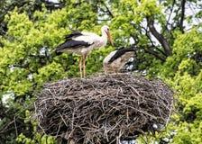 Famiglia della cicogna bianca - ciconia di Ciconia - nel nido, Sc dell'animale Immagini Stock Libere da Diritti