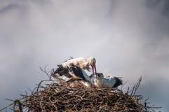 Famiglia della cicogna nel nido con il cielo scuro nei precedenti fotografie stock