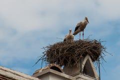 Famiglia della cicogna in nido fotografie stock libere da diritti