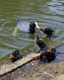 Famiglia della gallinella d'acqua Fotografia Stock Libera da Diritti