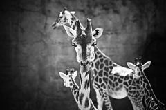 Famiglia della giraffa Fotografia Stock