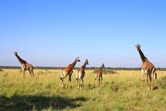 Famiglia della giraffa nel Botswana Fotografia Stock