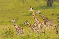 Famiglia della giraffa nel veld Fotografia Stock Libera da Diritti