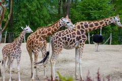 Famiglia della giraffa in zoo Fotografia Stock