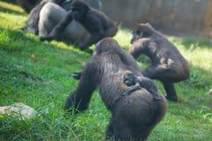 Famiglia della gorilla Immagine Stock