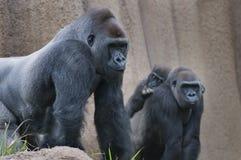 Famiglia della gorilla Fotografia Stock