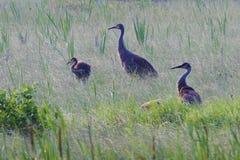 Famiglia della gru di Sandhill, canadensis di gru, in un mare di erba Fotografia Stock Libera da Diritti