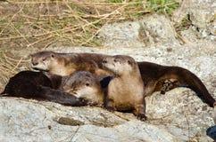 Famiglia della lontra di fiume che riposa su una roccia immagini stock libere da diritti