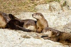 Famiglia della lontra di fiume, Victoria, Canada immagini stock