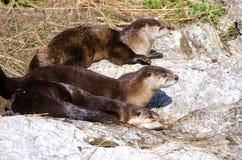Famiglia della lontra di fiume, Victoria, Canada fotografie stock libere da diritti