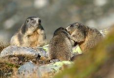 Famiglia della marmotta Fotografia Stock