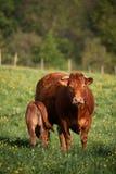 Famiglia della mucca Fotografie Stock Libere da Diritti