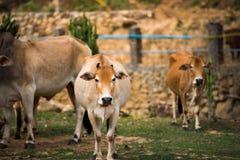 Famiglia della mucca Fotografia Stock Libera da Diritti