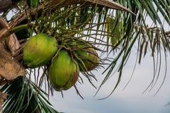 Famiglia della noce di cocco Immagini Stock