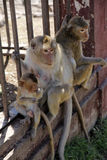 Famiglia della scimmia Immagine Stock Libera da Diritti