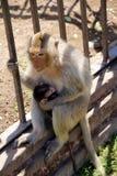 Famiglia della scimmia Fotografie Stock