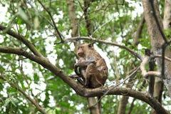 Famiglia della scimmia dell'Asia Fotografia Stock Libera da Diritti
