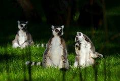 Famiglia della scimmia delle lemure sull'erba Fotografie Stock Libere da Diritti