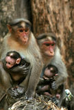 Famiglia della scimmia di macaco Fotografie Stock Libere da Diritti