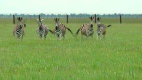 Famiglia della steppa delle zebre in primavera stock footage